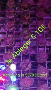 Meerwasser Korallen Ableger Lps sps