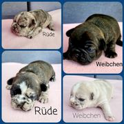 FranzA sische Bulldogge Welpen