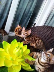 Wunderschöne Kitten Abgabe ab sofort