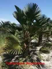 Palme Hanfpalme Trachycarpus Wagnarianus verschiedene