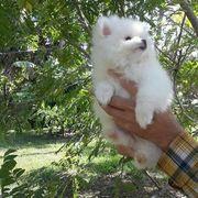 Wunderschöne Pomeranian Rasse Welpen zu