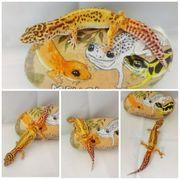 Leopardgecko 0 1 Tangerine Bell