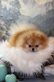 Deckrüde Zwergspitz Pomeranian Nicht zum