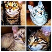 Reinrassig Bengal Kitten