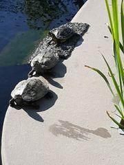 Suche Höcker-schmuckschildkröte für grossen teich