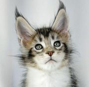 jusemi Maine Coon baby