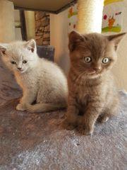 2 liebe bkh Kitten