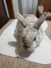 handzahmes Kaninchen 1 1 2