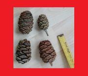 Echte Zapfen vom Mammutbaum Samen