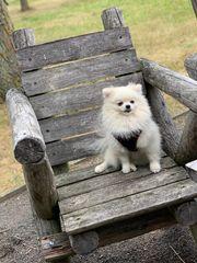 Zwergspitz Pomeranian Deckrüde