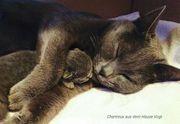Chartreux- Kitten bei Berlin Chartreux-