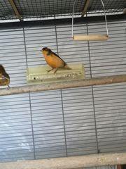 Kanarienvögel mit voliere