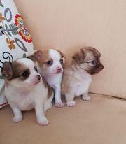 Reinrassige Chihuahua Welpen 4 Rüden