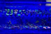 Korallen Update Korallenableger Meerwasser zoanthus