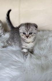 SF BKH Kätzchen