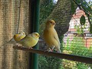 Junge gelbe Kanarienvögel Eigenaufzucht in