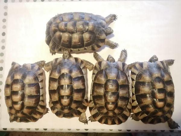 Breitrandschildkröte Testudo Marginata