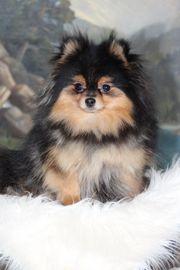Pomeranian Hündin zu verkaufen