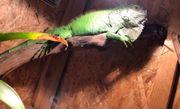 Verkaufe meinen Grünen Leguan