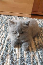 Scottish Fold und BKH Babykatzen