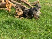 Yorkshire terrier letzte Mödchen