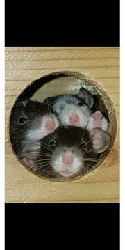 Ratten Jungtiere aus staatlich geprüfter