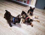 Französische bulldoge Welpen mit Stammbaum