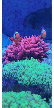 Meerwasser Kupferanemonen mit Clown Fischen