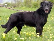 Suches Schäferhund-Labrador-Mischling Welpen