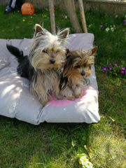 Biewer Yorkshire und Yorkshire Terrier