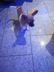 Welpe Chihuahua