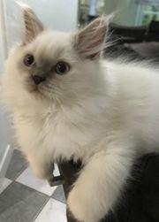 BLH BKH Kitten