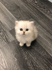 BLH Kitten Silver Shaded