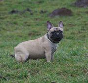 Super nette Französische Bulldoggen Dame