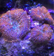 Rhodactis Superman Korallen Meerwasser