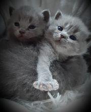 Super verschmuste BKH Teddymäuse Kitten