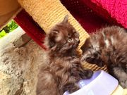 Türkisch angora Kitten
