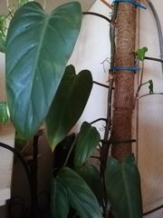 Philodendron Red Emerald fast deckenhoch