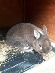 Kaninchen Zwerghase männlich zu verschenken