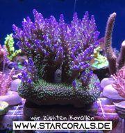 Großes Sortiment an Korallen LPS