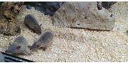 Kleine Igeltenrek Echinops telfairi - Nachzuchten