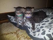 Reinrassige Britisch Kurzhaar Kitten in