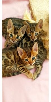 Bengal Kitten Katzen Baby Bengalkatze