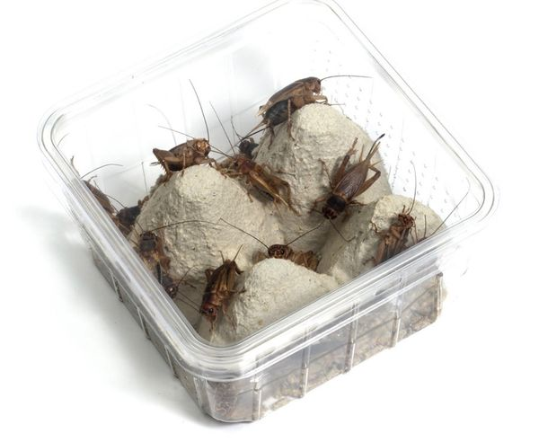 Futtertiere Heimchen & Wüstenheuschrecken