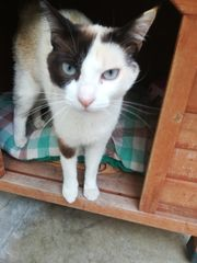 Katze Catalina Siam Mix sucht