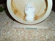 Junger weißer Zwerghamster Männchen Hamster