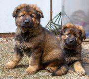 Vier Altdeutsche Schäferhund Rüden Reine