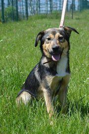 SOFIE Pinscher Schäferhund Mischling kastriert