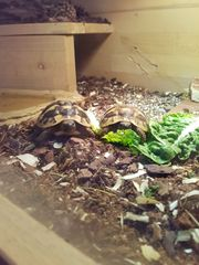 Griechische Landschildkröten