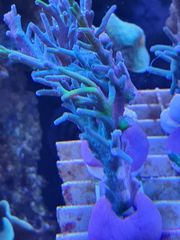 Meerwasser Ableger sps Zoanthus Gorgonien